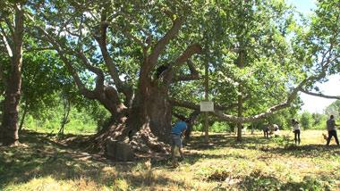 Стария чинар получи грижи от Граждански клуб ЛИПА – Стара Загора