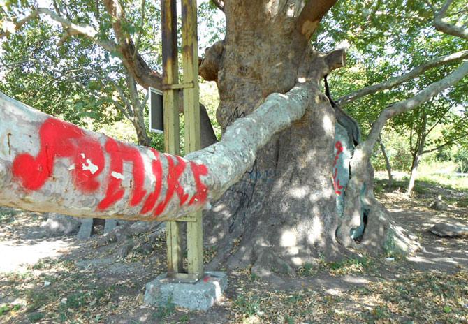 Вандали са рисували и дълбали по кората на Стария чинар